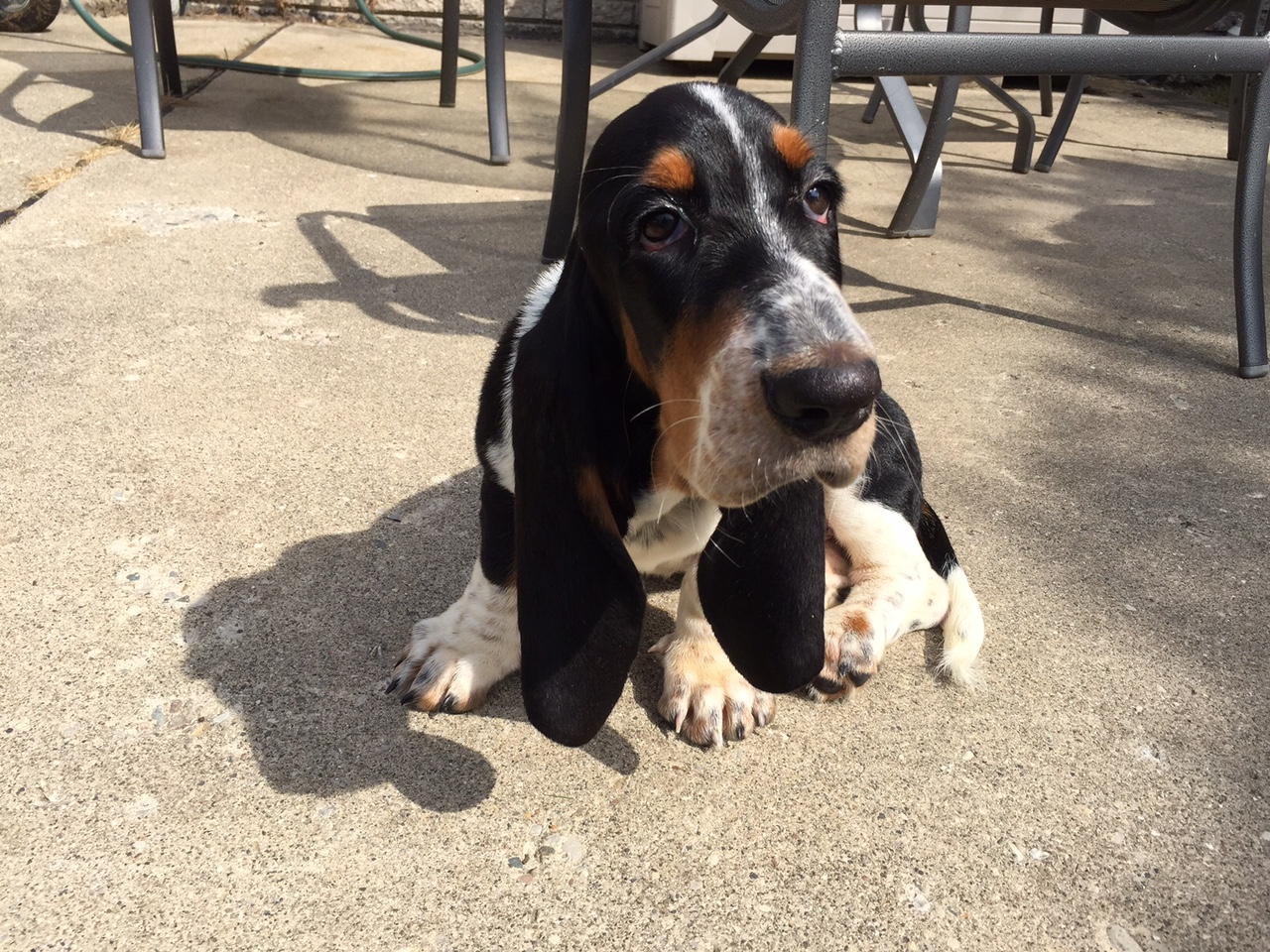 Elvis the Basset Hound